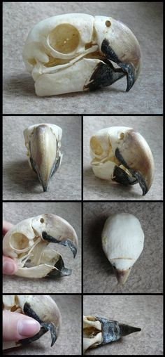 Macaw Skull by CabinetCuriosities on DeviantArt - references - Prime Skull Anatomy, Skeleton Anatomy, Skeleton Bones, Animal Anatomy, Skull And Bones, Skull Reference, Anatomy Reference, Animal Skeletons, Animal Skulls