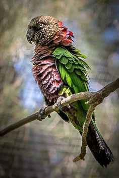 Loro cacique o quinaquina (Deroptyus accipitrinus) - Northern Hawk-Headed Parrot