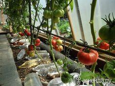 ПОМИДОРЫ БЕЗ ПОЛИВА, ЛИЧНЫЙ ОПЫТ ГАЛИНЫ ДОНОВОЙ, РОССИЯ, СФО, КРАСНОЯРСК: Группа Практикум садовода и огородника