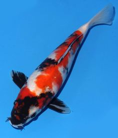 Budo goromo 7 live koi pond fish koibay for sale on ebay for Live discus fish for sale