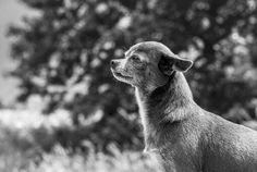 Poppy Dog Days, Poppy, Dogs, Animals, Animales, Animaux, Pet Dogs, Doggies, Animal