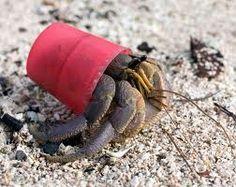 Hermit Crab in Bottle Cap...