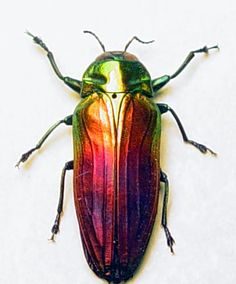 Species: Belionota sumptuosa  Real Framed Jewel Beetle Rainbow Conservation Insect Display  Native Origin: Papua New Guinea
