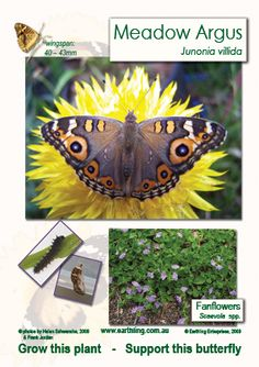 Image of Meadow Argus Scaveola butterfly sign