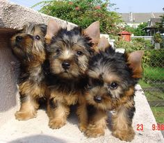 AUSTRALIAN SILKY TERRIER pups......looks like our Aussie when she was young.