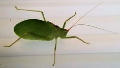 Insects in the cricket family, Tettigoniidae are commonly called katydids or bush crickets. There are more than 6,400 species.