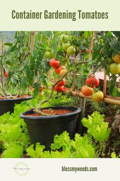 There are many reasons to garden with containers. Maybe you live in a cold climate and need to bring plants inside during the early part of the growing season. Tomatoes are especially well-suited for containers because they are susceptible to frost and they have a long growing season. #blessmyweedsblogpost #containergardening #containergardeningtomatoes
