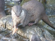 Otter eating a prawn at Wetland Centre
