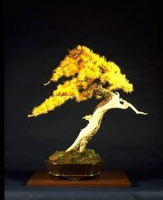 "Larix laricina ""The Christian Larch"""