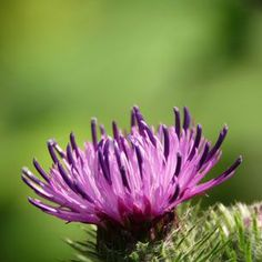 Milk Thistle Class by Natures Garden is a free herb class explaining the many fabulous milk thistle uses and skin benefits when used in cosmetics.