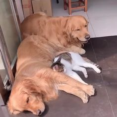 Click The Link for watching more funny and cute Golden Retriever videos. Cute Funny Animals, Cute Baby Animals, Funny Dogs, Animals And Pets, Wild Animals, Cute Animal Photos, Cute Animal Videos, Funny Animal Pictures, Chien Golden Retriever