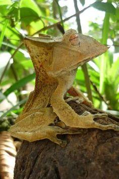Banded Horned Treefrog (Hemiphractus fasciatus)