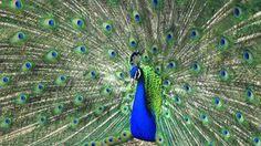 Peacock photo stock by Rinermai