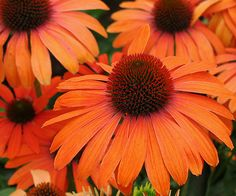 Add cheery color to your garden with bright orange Echinacea 'Julia'. More new perennials: http://www.bhg.com/gardening/flowers/perennials/new-perennials/?socsrc=bhgpin051613orangeconeflower=8