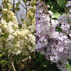 Havens syrener i fuld duftende flor (27. maj). De står specielt flotte efter nogle dages regn.