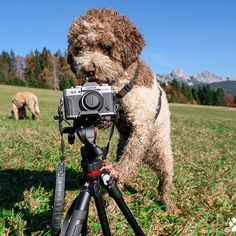 OK let me see auto functions off serial shot on pic size fine. Lense please and Masky into position! We gotta work! Italian Water, Lagotto Romagnolo, Dog Training Tips, Instagram Feed, Puppies, Chanel, Cat, Cubs, Cat Breeds