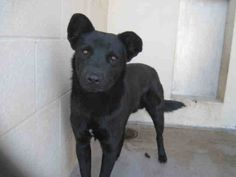 ID#A3432629 Dweetest dog ever!  I am a male, black Chow Chow mix. The shelter staff think I am about 2 years old. I have been at the shelter since Mar 23, 2014.   For more information about this animal, call: Maricopa County Animal Care & Control - West Valley Animal Care Center at (602) 506-7387 Ask for information about animal ID number A3432629