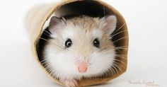 Just Pinned to Hamsters: Tiere http://ift.tt/2pGA0um