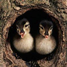 Wood ducklings.