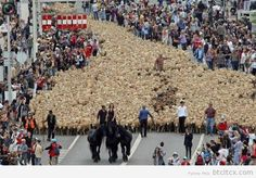 Pics Of 8.12.13: That's A Lot Of Sheep   Funny Pictures