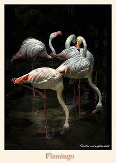 Flamingos / Flamencos