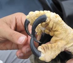 ever wonder how big an eagle talon is?  awesome...