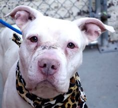 """SANDY CHEECKS aka SNOW - A1099742 - - Manhattan  Please Share:TO BE DESTROYED 01/03/17: ****PUBLICLY ADOPTABLE****: A volunteer writes: """"Like a refined young lady, she was very engaged as I approached her kennel. She remained calm and still as I leashed her. Doing her business promptly once we got outside. She seems extremely house trained, as I think that was her first walk today and her kennel was clean. Pretty amazing! She loves affection too. She's a winner!"""