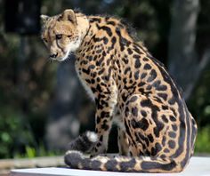 There are only cheetahs remaining in the wild. This had led to conservationists to renew calls for the big cats to be declared endangered. Unusual Animals, Rare Animals, Cheetahs, Animal Species, Endangered Species, Beautiful Cats, Animals Beautiful, Melanism, Albino