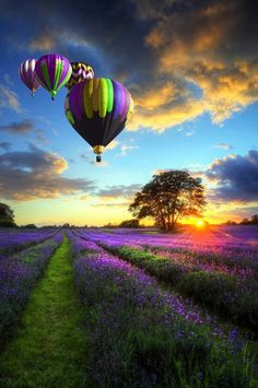 Picture of Beautiful image of stunning sunset with atmospheric clouds and sky over vibrant ripe lavender fields in English countryside landscape with hot air balloons flying high stock photo, images and stock photography. Pretty Pictures, Cool Photos, Live Photos, Pictures Images, Amazing Photos, Colorful Pictures, Beautiful World, Beautiful Places, Beautiful Scenery