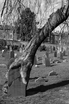 Creepy.headstone & a tree photo | It looks like the tree is grabbing the headstone.