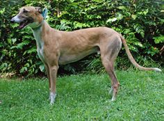 Greyhound Crossroads - How To Know If Your Greyhound Is At The Proper Weight