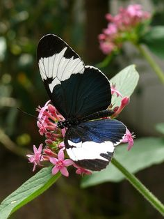 Heliconius sapho leuce Flying Flowers, Butterfly Flowers, Butterfly Wings, Beautiful Butterflies, Pictures Of Wings, Butterfly Metamorphosis, Colorful Moths, Butterfly Species, Moth Caterpillar