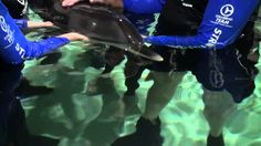 Chck out this video of the dolphin calf that was rescued this past 4th of July!