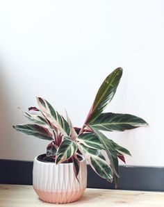 Small Stromanthe Houseplant In The Modern Pot