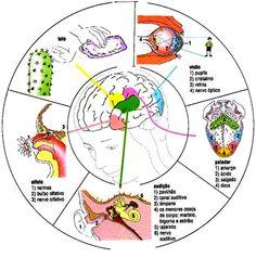 Fisioterapia y Terapia Ocupacional: Como Estimular la visión, El oído, El tacto, El gusto y el Olfato en niños. (SISTEMA SENSORIAL)