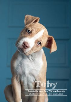 I love a pittie puppy that can rock the head tilt! Toby is up for adoption at www.petswithoutparents.net in Columbus, Ohio.