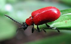 I hate the Red Lily Beetle. Anyone have tips to get rid of them? Lily Beetle, Red Beetle, Beetle Insect, Red Lily, Oriental Lily, Peonies Garden, Flowers Garden, Garden Pests, Plant Pests