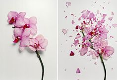 Jon Shireman has a cool project titled Broken Flowers that features photographs of flowers that were shattered. How do you shatter flowers, you ask? By freezing them with liquid nitrogen! Still Life Photography, Art Photography, Flower Photography, Stunning Photography, Creative Photography, Foto Still, Liquid Nitrogen, Natural Forms, Flower Photos
