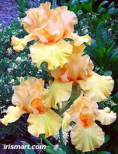 """Mango Passion"" Tall Bearded Iris!"