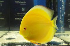 Yellow Discus