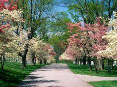 Spring dogwood trees.
