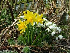 Daffodils and Snowdrops by pegash, Haughton, England: Spring! #Daffodils