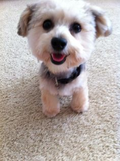 pictures of a teddy bear hair cuts Adult Morkie Teddy