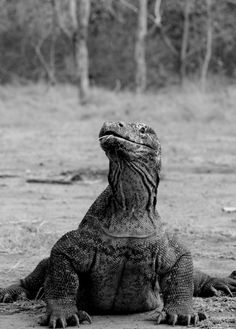 Komodo dragon, also known as the Komodo monitor, is a large species of lizard found in the Indonesian islands of Komodo, Rinca, Flores, Gili Motang, and Padar
