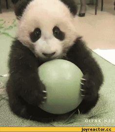 гифки-панда-милота-мимими-511650.gif (297×343)