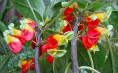 The Parrot Impatiens puts out playful, cornucopia-shaped blooms that dangle happily all over the plant like little tropical birds - one of nature's more whimsical creations...