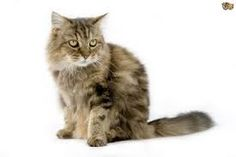 FLUFFY CAT BREEDS – little question adorable creatures. Their own fur is actually, not just the supply of pride but additionally the supply of endless problems to the owners. Cats as well as kittens Can't assist however admire as well as to not lead to emotion  as a result of they're thus cute, cozy, tender (typically ) .FLUFFY CAT BREEDS – little question adorable creatures. Their own fur is actually, not just the supply of pride but additionally the supply of endless problems to the…