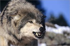 Howie Garber - grauer Wolf (Canis Lupus)