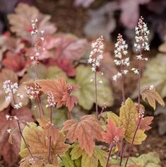 Heucherella | Costa Farms