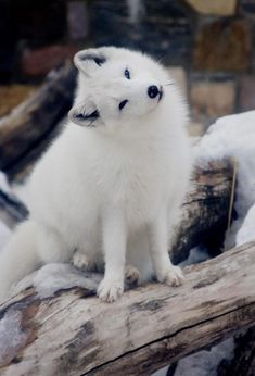 Intrigued arctic fox...:
